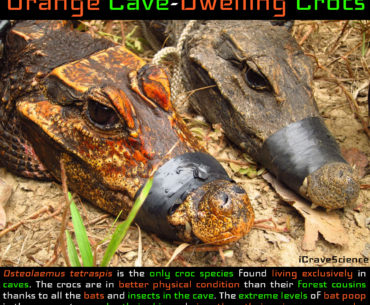 Orange Crocodiles